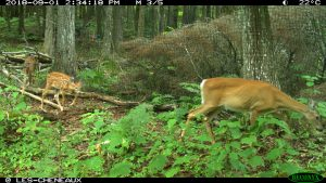 A mother doe and her two fawns walk through the forest
