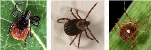 A deer tick, a wood tick, and a lone star tick